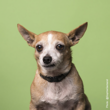 Tan chihuahua mix sitting in front of a green background.