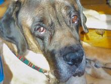 Max, the Mastiff, now deceased