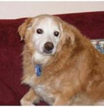 Snickers, a Golden Retriever, now deceased