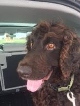 Brown dog with curly hair sitting in a car.