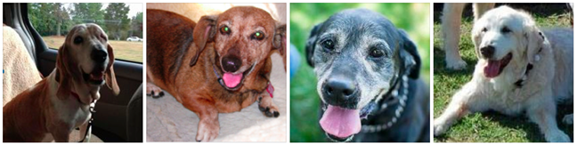 Belle, Lily, Shadow, and Tex, 4 senior dogs aided by The Grey Muzzle Organization in 2012