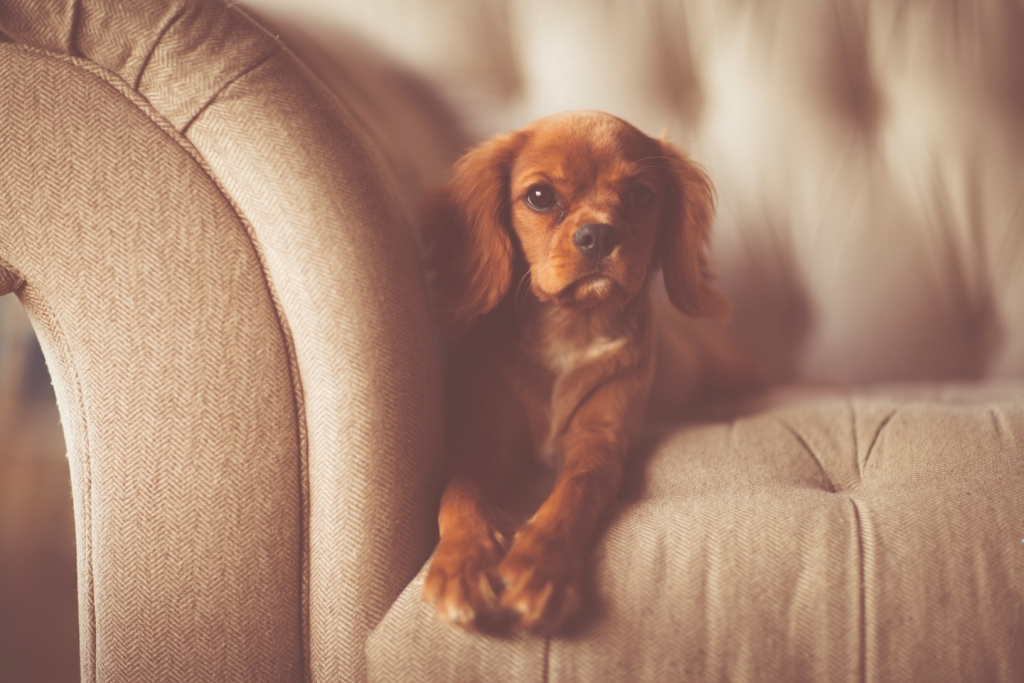 Small brown dog sitting on a couch.