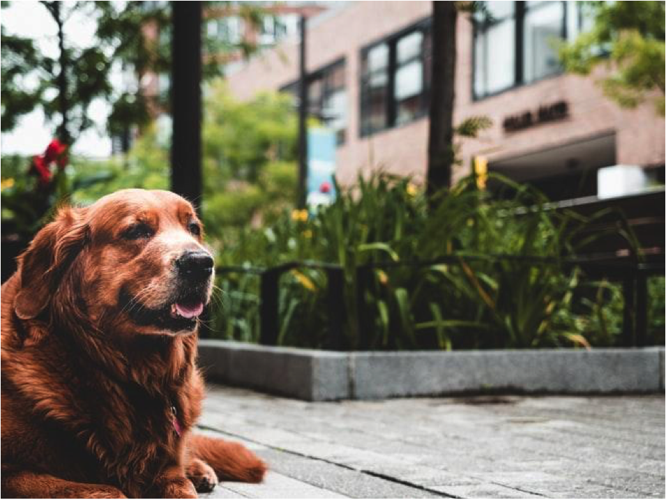 Golden retriever sitting outside building