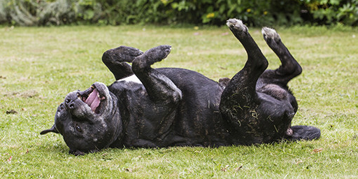 dog rolling around in the grass