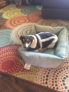 Photo of a small black, brown, and white dog wearing a navy and lambswool coat standing in a small dog bed.