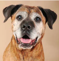 Jayden, a 12-year old boxer mix