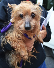Tan and black yorkie mix be held by someone wearing a black jacket.
