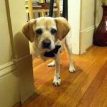 Benny, a senior dog adopted by Katie and Dan