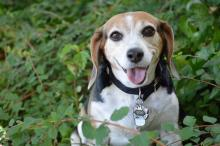 Tri color beagle with mouth open sitting among branches and green leaves
